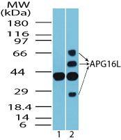 ATG16L1 Antibody (PA5-23217) in Western Blot