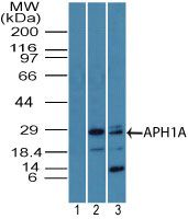 APH1 Antibody (PA5-23466) in Western Blot