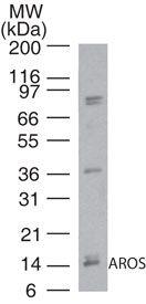AROS Antibody (PA5-23220)