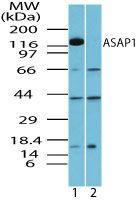 ASAP1 Antibody (PA5-23323) in Western Blot