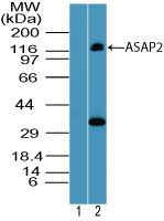 PAG3 Antibody (PA5-23345) in Western Blot