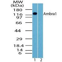 AMBRA1 Antibody (PA5-23212) in Western Blot