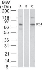 BRD4 Antibody (PA1-41403) in Western Blot