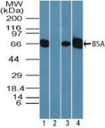 Bovine Serum Albumin Antibody (PA5-23403) in Western Blot