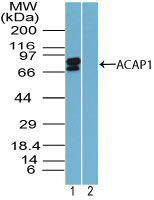 CENTB1 Antibody (PA5-23343)