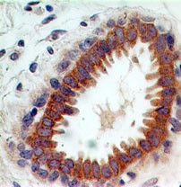 CLEC9A Antibody (MA5-16262)