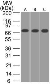 CaMKII beta Antibody (PA1-41150) in Western Blot