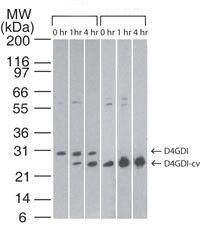 D4-GDI Antibody (MA1-41085) in Western Blot