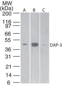 DAP3 Antibody (MA1-41279) in Western Blot