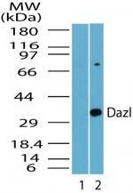 DAZL Antibody (PA5-23152) in Western Blot
