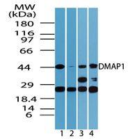 DMAP1 Antibody (PA5-23214) in Western Blot