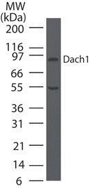 DACH1 Antibody (PA5-23483) in Western Blot