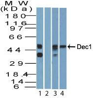 DEC1 Antibody (PA5-23502) in Western Blot