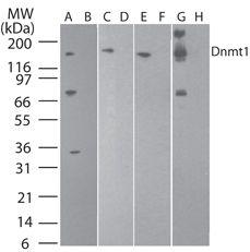 DNMT1 Antibody (MA5-16169) in Western Blot