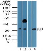EBI3 Antibody (PA5-23228)