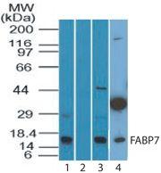 FABP7 Antibody (PA5-23469) in Western Blot