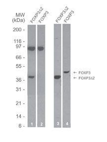 FOXP3 Antibody (MA5-16226) in Western Blot