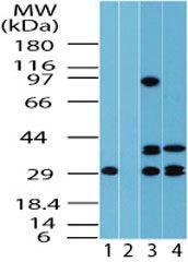 FUZ Antibody (PA5-23209) in Western Blot