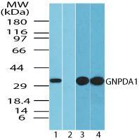 GNPDA1 Antibody (PA5-23236) in Western Blot