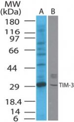 TIM3 Antibody (PA1-41295) in Western Blot
