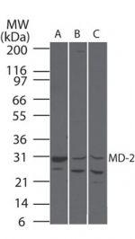 MD-2 Antibody (PA5-23137) in Western Blot