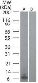 MIP-3 alpha Antibody (MA5-16252) in Western Blot