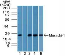 MSI1 Antibody (PA5-23439)