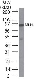 MLH1 Antibody (MA1-41246)