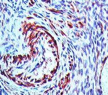 NALP7 Antibody (PA5-23304)