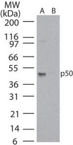 NFkB p50 Antibody (MA1-41314) in Western Blot