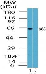 NFkB p65 Antibody (PA1-41573)