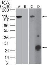 NLRP3 Antibody (MA5-16274)