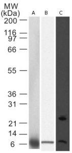 NOXA Antibody (MA1-41000) in Western Blot