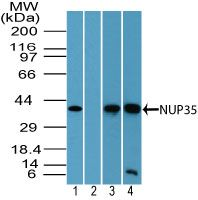 NUP35 Antibody (PA5-23372) in Western Blot