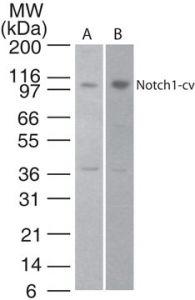 NOTCH1 Antibody (PA5-23181)