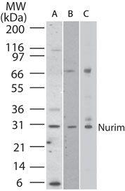 Nurim Antibody (PA1-41391) in Western Blot