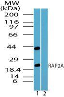 RAP2A Antibody (PA5-23298) in Western Blot