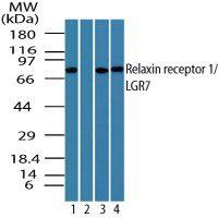 LGR7 Antibody (PA1-41532)