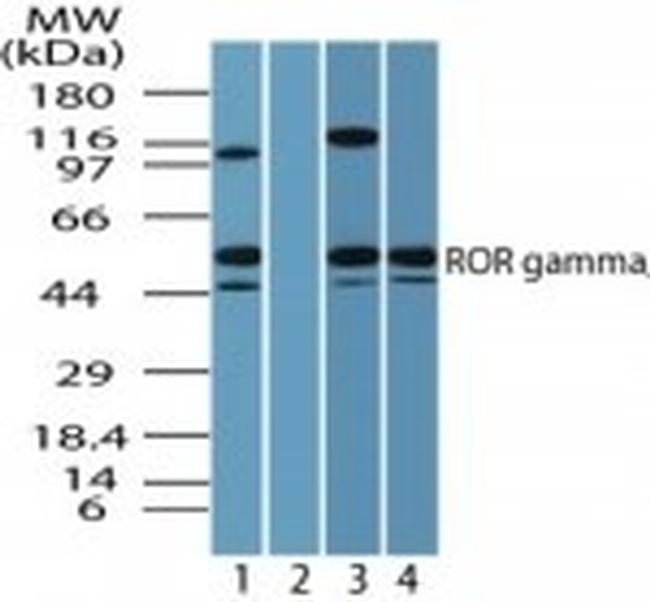 RORC Antibody (PA5-23148) in Western Blot