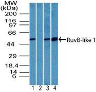 RUVBL1 Antibody (PA5-23452) in Western Blot