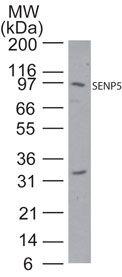 SENP5 Antibody (PA1-41239)