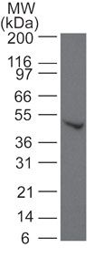 SMAD6 Antibody (PA1-41026) in Western Blot