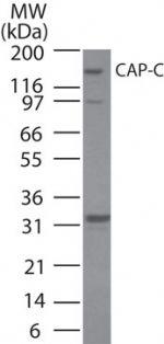 SMC4 Antibody (PA1-41672)
