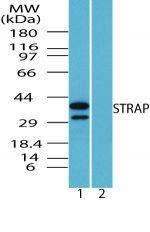 STRAP Antibody (PA5-23165) in Western Blot