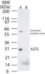 Smallpox Virus A27L Antibody (PA1-41501)