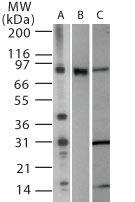 TLR2 Antibody (PA5-23114)