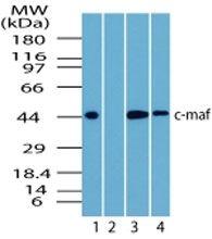 MAF Antibody (PA5-23179) in Western Blot