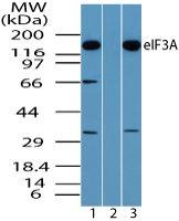 eIF3a Antibody (PA5-23285) in Western Blot