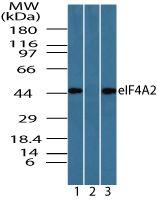 eIF4A2 Antibody (PA5-23264) in Western Blot