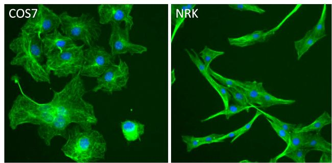 beta Tubulin Antibody (MA5-11732) in Immunofluorescence